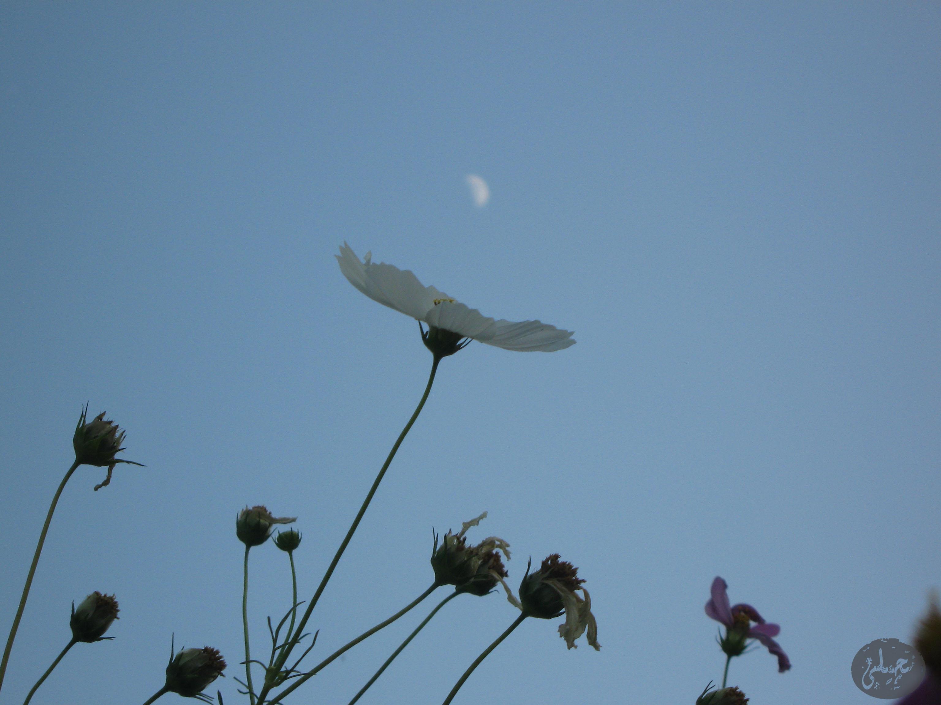 گل و ماه